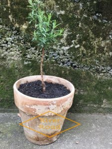 Growing a rosemary topary