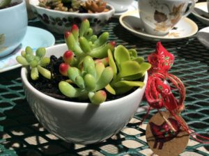 Jelly Bean Succulent in a teacup