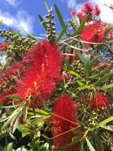 Native Pohutukawa tree flowers
