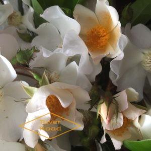 White bramble roses